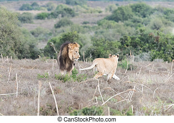 Male and female lions interacting