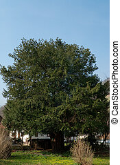 oldest yew tree - a thousand year old yew tree standing in a...