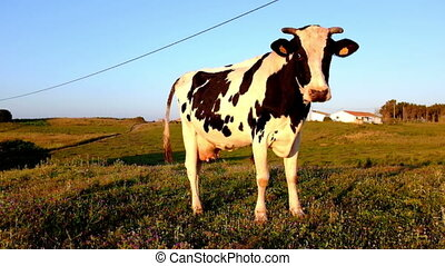 Young cow grazing on a meadow