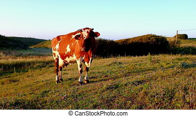 Cow in the countryside from Portugal