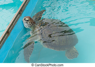 Turtles from Tamar project in Florianopolis, Santa Catarina...
