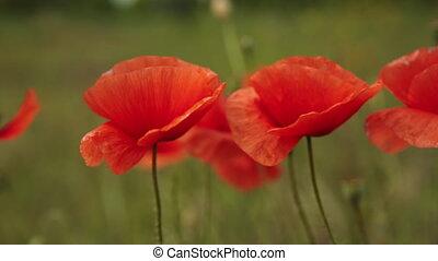 poppy flowers swaying in the wind field - bright poppy...