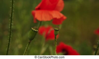 poppy flowers swaying in the wind field
