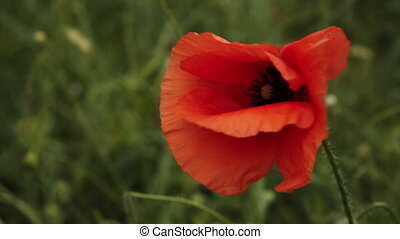poppy flowers swaying in the wind field - bright poppy...