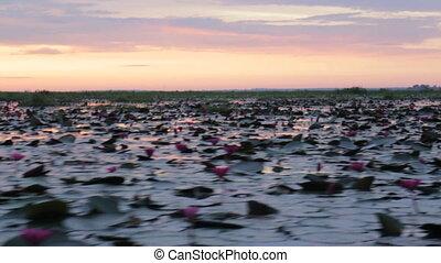 Pink lotus lake take boat tour in the morning, stock video