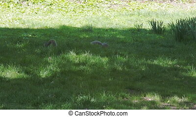 squirrels playing in the park - Squirrel playing in the...