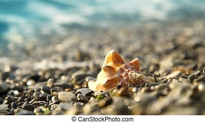 Conch shell on the pebble beach - Conch shell on pebble...