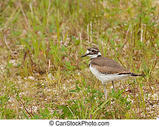 Killdeer, Charadrius vociferus, standing in the grass