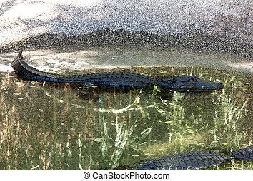 Un, peligroso, grande, caimán,