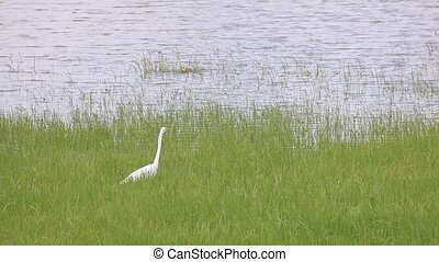 Great Egret - The Great Egret catching some fish at the...