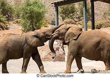 Two African Elephant bulls play-fighting