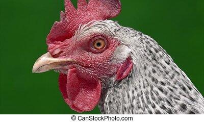Domestic hen close up