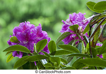 Blooming Rhododendron in a garden in mecklenburg, Germany.