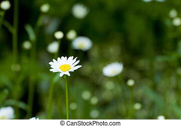 oxeye daisy flowers on a meadow in Germany, Europe, in...