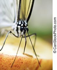 paper kite butterfly,Idea leuconoe - portrait view of a...