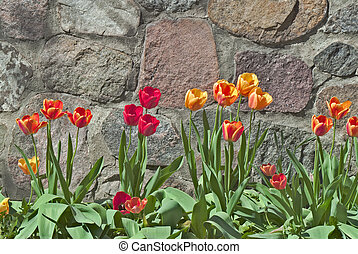 Tulipa Against Rock Wall - Beautiful Yellow, Red and Orange...