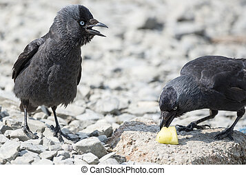 Two Jackdaw Birds - Two jackdaw birds fighting over a chunk...