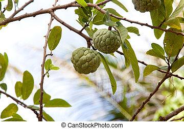Annona squamosa or Custard apple fruit on tree in garden.