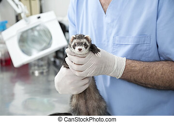 Cute Weasel Held By Male Doctor - Portrait of cute weasel...
