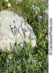 Forget-me-not flowers in mountains, Arkhyz,...