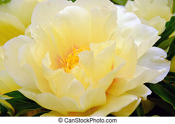 Yellow flower closeup - The big beautiful full-blown yellow...