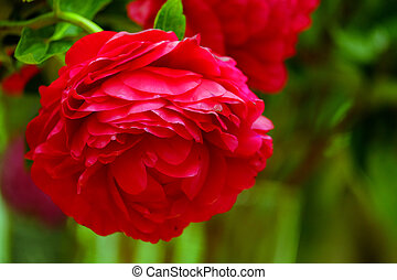 Red flower closeup - The big beautiful full-blown red flower...