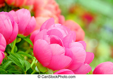 Pink flower closeup - The big beautiful full-blown pink...