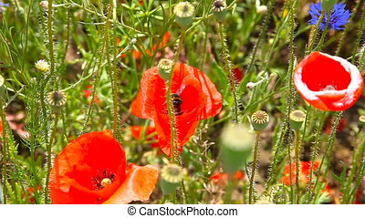 Bumble bee pollinating red poppies - Bumble Bee and Wild Red...