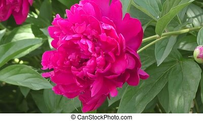 Peony Red color. - Peony Red color summer day.