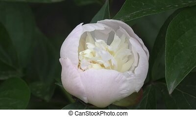 Peony white color. - Peony white color on a summer day.