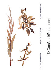 Herbarium willow tree - Herbarium of pressed leaves,...