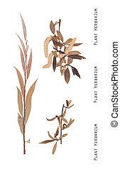 Herbarium willow tree - Herbarium of pressed leaves,...