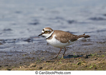 Little ringed plover Charadrius dubius - Little ringed...