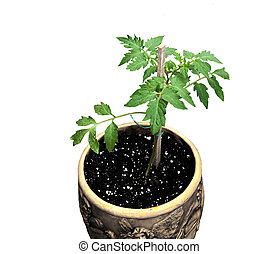 Homegrown tomato plant - My first homegrown tomato plant in...