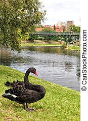 Black Swan Cygnus atratus at the river bank of River Torrens...
