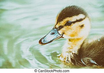 Baby Duck Bird Swimming On Water