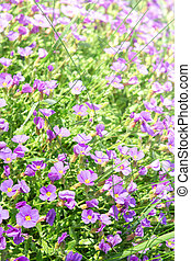Vertical floral background with small violet Aubrieta...