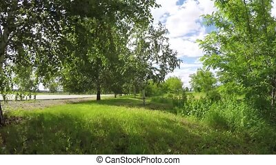 wind has bent green branches of birch on background of...