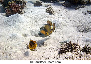Titan trigger fish - Titan Trigger Fish