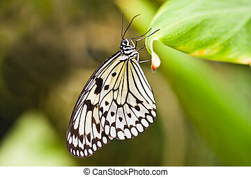 Paper kite butterfly hanging on leaf - Paper kite tropical...