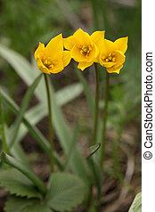 wild spring tulips