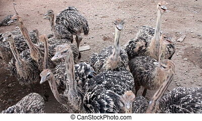 young ostrich - group of young ostrich