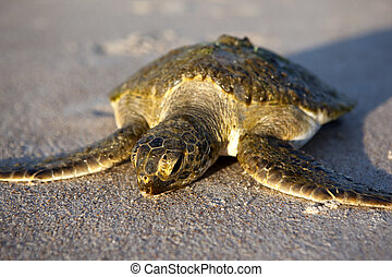Sea Turtle - Sea turtle on the beach