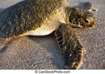 Sea Turtle - Sea turtle on the beach