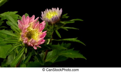 Aster Flower Time-lapse - Time-lapse of aster(Aster sp.)...