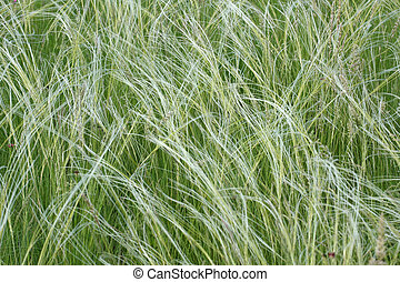 steppe feather grass - Field of a steppe feather grass
