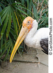 The Adult endangered milky stork - Adult milky stork...