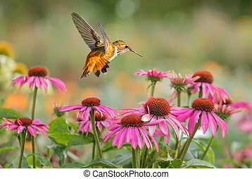Rufous Hummingbird over bright summer background - Rufous...