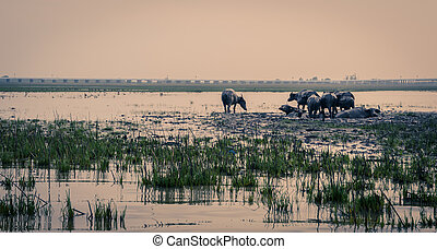 Herd of water buffalo in wetland, Thailand - Herd of water...