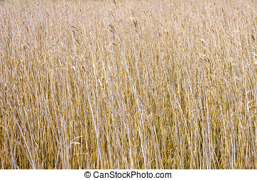 REED BED - View over and into a reedbed.